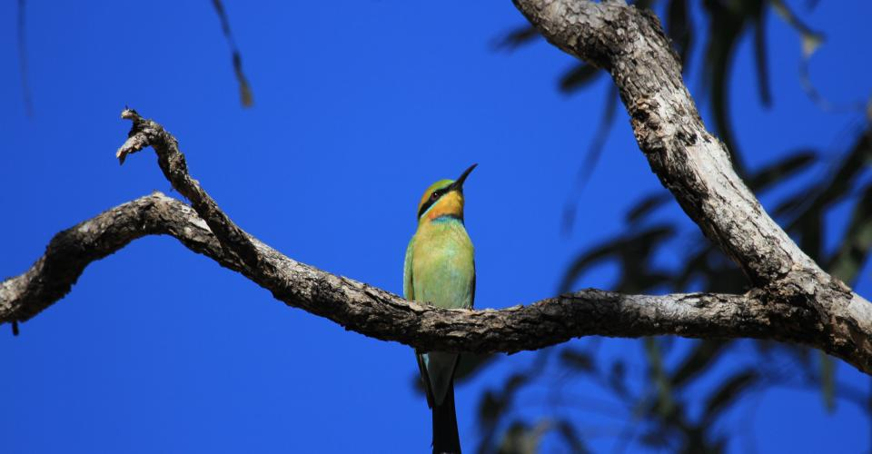 Rainbow Bee-eater in the Kimberley